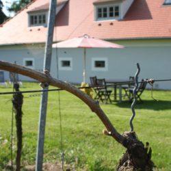 Weinstöcke an der Gästewiese